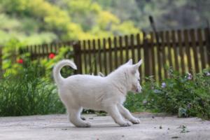 White-Swiss-Shepherd-Puppies-BTWWL-May-2019-0130