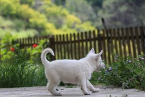 White-Swiss-Shepherd-Puppies-BTWWL-May-2019-0131