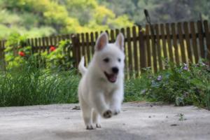 White-Swiss-Shepherd-Puppies-BTWWL-May-2019-0132