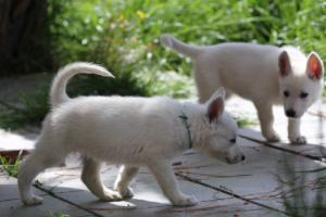 White-Swiss-Shepherd-Puppies-BTWWL-May-2019-0133