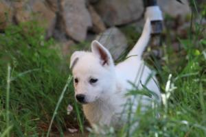 White-Swiss-Shepherd-Puppies-BTWWL-May-2019-0135
