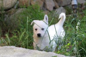 White-Swiss-Shepherd-Puppies-BTWWL-May-2019-0136