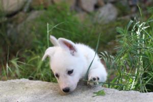 White-Swiss-Shepherd-Puppies-BTWWL-May-2019-0137