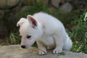 White-Swiss-Shepherd-Puppies-BTWWL-May-2019-0138
