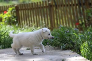 White-Swiss-Shepherd-Puppies-BTWWL-May-2019-0140