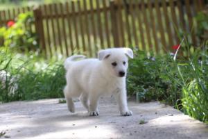 White-Swiss-Shepherd-Puppies-BTWWL-May-2019-0141