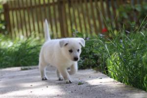 White-Swiss-Shepherd-Puppies-BTWWL-May-2019-0142