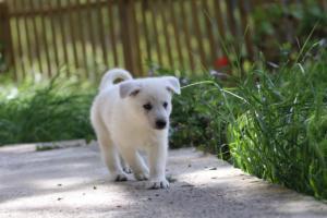 White-Swiss-Shepherd-Puppies-BTWWL-May-2019-0143