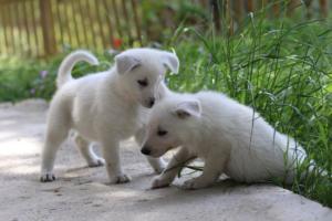 White-Swiss-Shepherd-Puppies-BTWWL-May-2019-0144