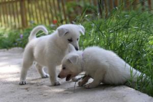 White-Swiss-Shepherd-Puppies-BTWWL-May-2019-0145