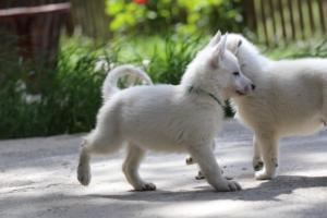 White-Swiss-Shepherd-Puppies-BTWWL-May-2019-0146
