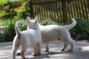 White-Swiss-Shepherd-Puppies-BTWWL-May-2019-0147