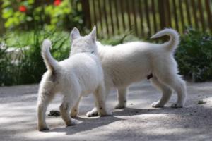 White-Swiss-Shepherd-Puppies-BTWWL-May-2019-0148