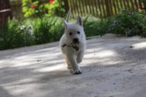 White-Swiss-Shepherd-Puppies-BTWWL-May-2019-0149