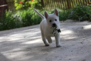 White-Swiss-Shepherd-Puppies-BTWWL-May-2019-0150