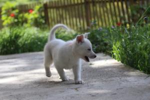 White-Swiss-Shepherd-Puppies-BTWWL-May-2019-0151