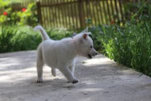 White-Swiss-Shepherd-Puppies-BTWWL-May-2019-0152