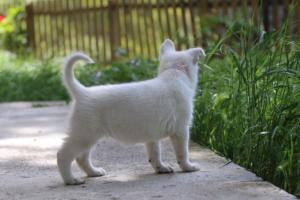 White-Swiss-Shepherd-Puppies-BTWWL-May-2019-0154