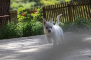White-Swiss-Shepherd-Puppies-BTWWL-May-2019-0155