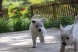 White-Swiss-Shepherd-Puppies-BTWWL-May-2019-0156