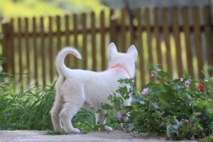 White-Swiss-Shepherd-Puppies-BTWWL-May-2019-0157