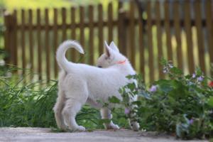 White-Swiss-Shepherd-Puppies-BTWWL-May-2019-0159