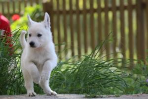 White-Swiss-Shepherd-Puppies-BTWWL-May-2019-0161