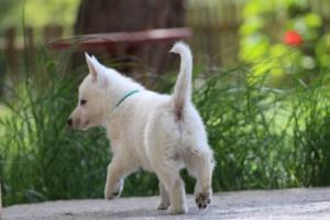 White-Swiss-Shepherd-Puppies-BTWWL-May-2019-0162