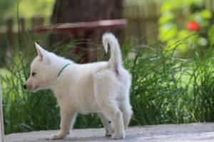 White-Swiss-Shepherd-Puppies-BTWWL-May-2019-0163
