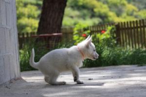 White-Swiss-Shepherd-Puppies-BTWWL-May-2019-0164