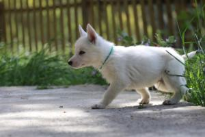 White-Swiss-Shepherd-Puppies-BTWWL-May-2019-0165