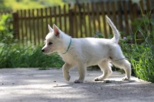 White-Swiss-Shepherd-Puppies-BTWWL-May-2019-0166