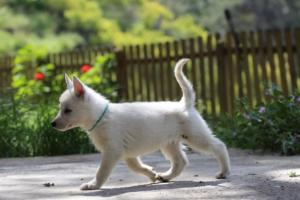 White-Swiss-Shepherd-Puppies-BTWWL-May-2019-0167