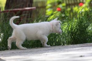 White-Swiss-Shepherd-Puppies-BTWWL-May-2019-0169