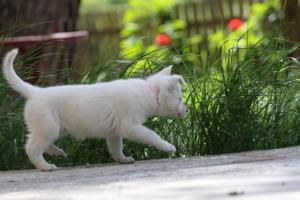 White-Swiss-Shepherd-Puppies-BTWWL-May-2019-0170