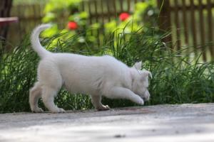 White-Swiss-Shepherd-Puppies-BTWWL-May-2019-0171