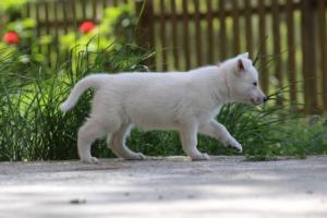 White-Swiss-Shepherd-Puppies-BTWWL-May-2019-0173