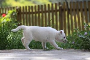 White-Swiss-Shepherd-Puppies-BTWWL-May-2019-0174