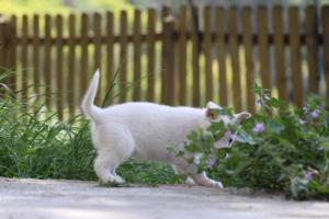 White-Swiss-Shepherd-Puppies-BTWWL-May-2019-0175