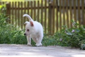White-Swiss-Shepherd-Puppies-BTWWL-May-2019-0176