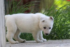 White-Swiss-Shepherd-Puppies-BTWWL-May-2019-0177