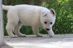 White-Swiss-Shepherd-Puppies-BTWWL-May-2019-0178