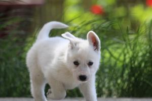 White-Swiss-Shepherd-Puppies-BTWWL-May-2019-0179