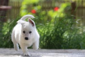 White-Swiss-Shepherd-Puppies-BTWWL-May-2019-0180