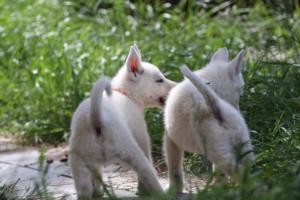 White-Swiss-Shepherd-Puppies-BTWWL-May-2019-0182