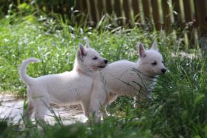 White-Swiss-Shepherd-Puppies-BTWWL-May-2019-0183