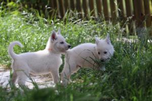 White-Swiss-Shepherd-Puppies-BTWWL-May-2019-0184