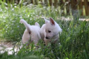 White-Swiss-Shepherd-Puppies-BTWWL-May-2019-0185