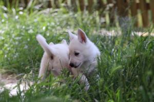 White-Swiss-Shepherd-Puppies-BTWWL-May-2019-0186