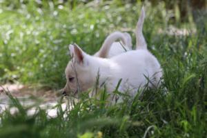 White-Swiss-Shepherd-Puppies-BTWWL-May-2019-0187